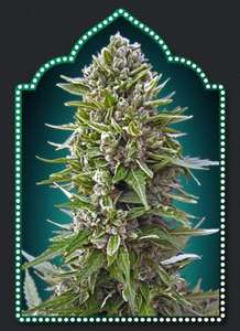 00 SeedsAuto Northern Lights Feminised Seeds