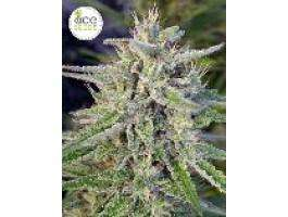 Ace Seeds Bangi Haze Regular cannabis seeds