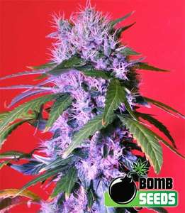 Bomb Seeds Berry Bomb Feminised cannabis seeds