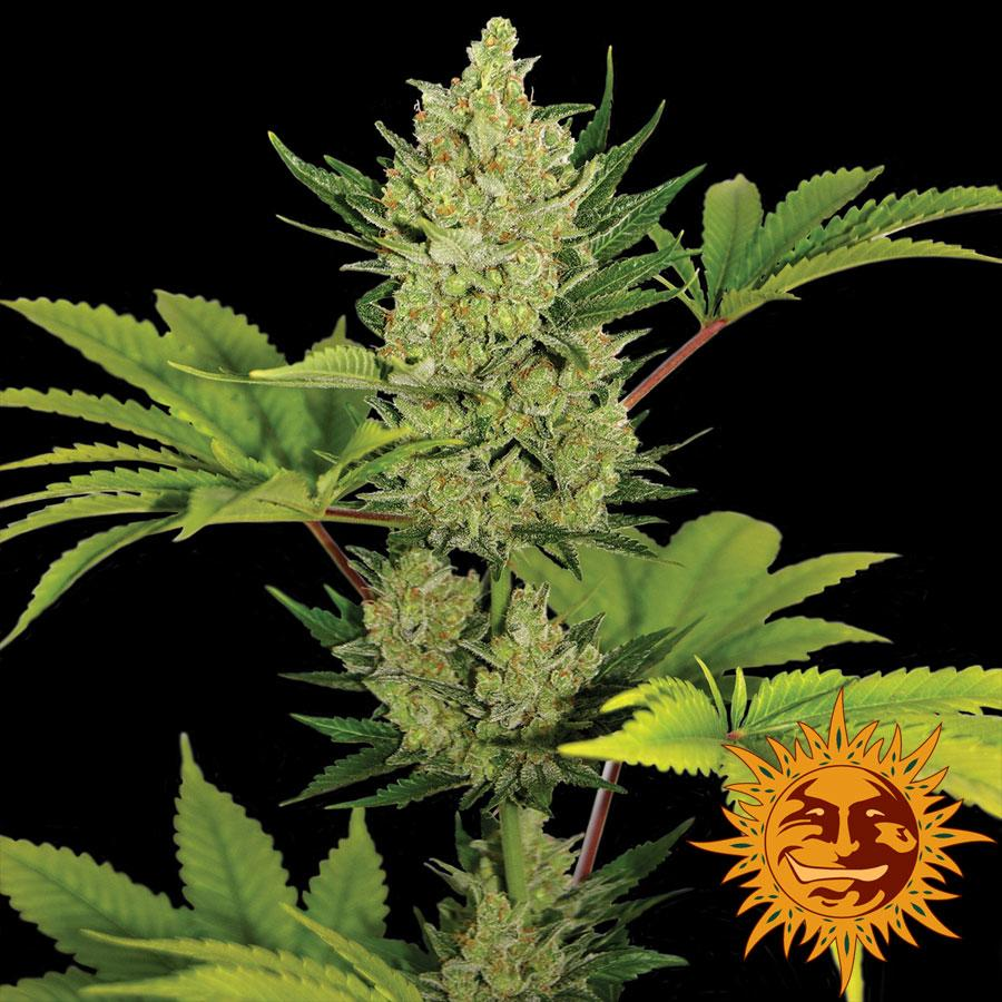 Barney's Farm Seeds Blue Cheese Auto Feminised cannabis seeds