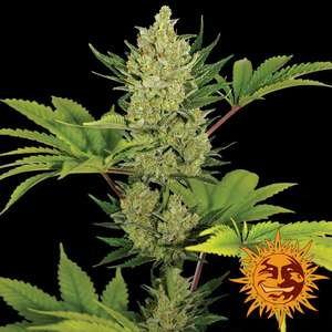 Barney's Farm SeedsBlue Cheese Auto Feminised Seeds