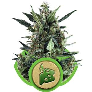 Royal Queen Seeds Blue Cheese Auto Feminised cannabis seeds