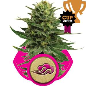 Royal Queen Seeds Blue Mystic Feminised cannabis seeds