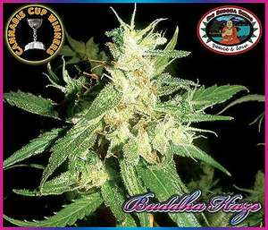 Big Buddha SeedsBuddha Haze Feminised Seeds