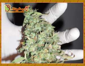 Dr Krippling Seeds Buzz Light Gear Feminised cannabis seeds