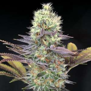 Garden Of GreenCali Bay Dream Feminised Seeds