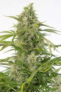 Dinafem Seeds Cheese CBD Auto Feminised cannabis seeds