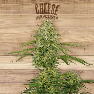 The Plant Cheese Feminised- TP cannabis seeds