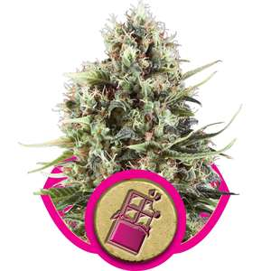 Royal Queen Seeds Chocolate Haze Feminised cannabis seeds