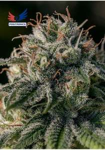 Positronic Seeds Crazy Lazy Feminised cannabis seeds