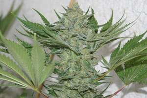 Resin Seeds Critical Haze Feminised cannabis seeds