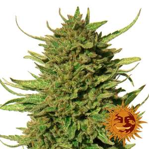 Barney's Farm Seeds Critical Kush Regular  cannabis seeds