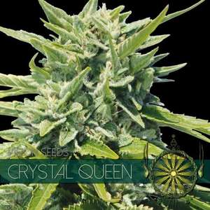 Vision Seeds Crystal Queen Feminised cannabis seeds
