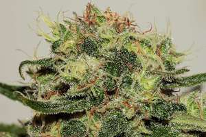 Seedsman Critical Mass CBD Feminised cannabis seeds