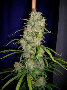 Cannabiogen Destroyer Feminised cannabis seeds
