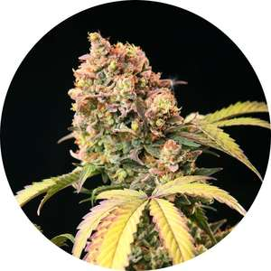 Top Tao Seeds Demon AUTO Tao Regular  cannabis seeds