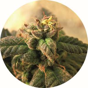 Top Tao Seeds Early Top Tao Regular  cannabis seeds