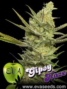 Eva Seeds Gipsy Haze Feminised cannabis seeds