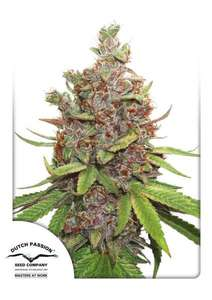 Dutch Passion Glueberry O.G. Auto Feminised cannabis seeds