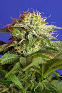 Sweet Seeds Green Poison Feminised cannabis seeds