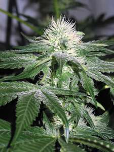Royal Queen SeedsIce Feminised Seeds