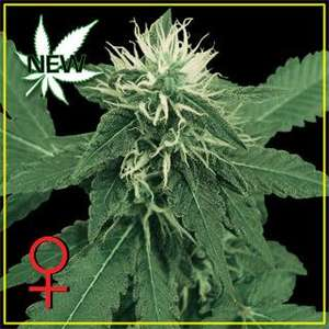 Greenhouse Seed Co. K - Train Feminised cannabis seeds