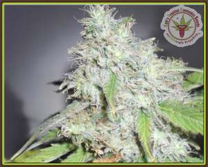 Dr Krippling Seeds Kali's White Shadow Feminised cannabis seeds