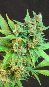 Kannabia SeedsKickass (B.Lee ) Auto Feminised Seeds