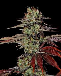 Greenhouse Seed Co.King's Kush Auto Feminised Seeds