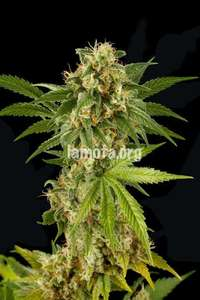 Dinafem Seeds Kush - N - Cheese Feminised cannabis seeds