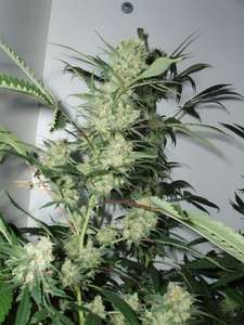 CannabiogenLeshaze Regular Seeds
