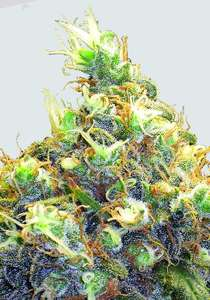 Nirvana Seeds Mango Skunk Regular  cannabis seeds