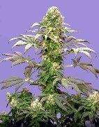 Sagarmatha SeedsMatanuska Tundra Regular Seeds - 10