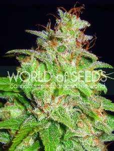 World of SeedsMazar x White Rhino Feminised Seeds