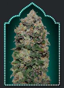 00 SeedsNorthern Lights Feminised Seeds - 5