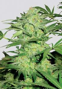 Nirvana SeedsNorthern Lights Regular Seeds - 10