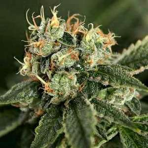 Connoisseur GeneticsOG Chem Haze Regular Seeds - 11