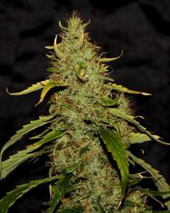CBD CrewPH CBD Regular Seeds - 5