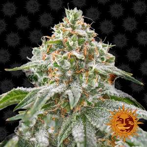 Barney's Farm SeedsPink Kush Feminised Seeds