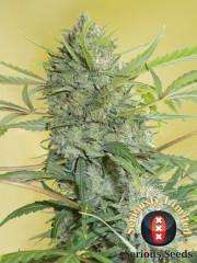 Serious SeedsSerious Happiness Regular Seeds - 11