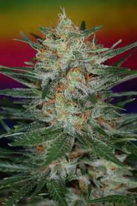 Subcool Seeds/TGA GeneticsScarlet Queen Regular Seeds