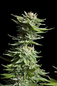Royal Queen SeedsShining Silver Haze Feminised Seeds