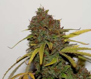 SeedsmanShark Shock CBD Feminised Seeds