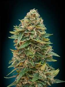 Advanced SeedsSkunk 47 Auto Feminised Seeds