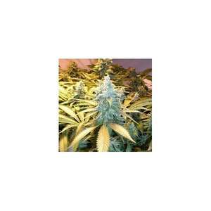 Nirvana SeedsSnow White Feminised Seeds - 5