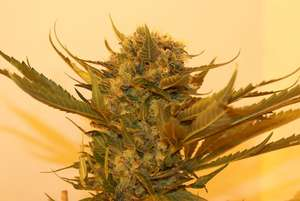 Resin SeedsSour P Feminised Seeds
