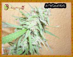 Dr Krippling SeedsSpinning Buzz Kick Auto Feminised Seeds
