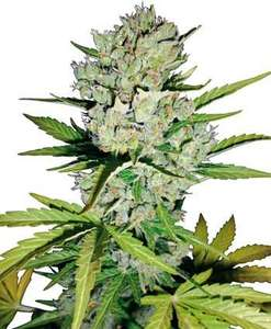 White Label Seed CompanySuper Skunk Auto Feminised Seeds