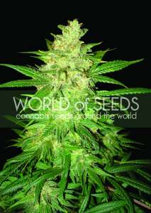 World of SeedsSweet Coffee Ryder Auto Feminised Seeds