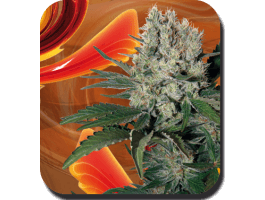 Buddha SeedsSyrup Auto Feminised Seeds